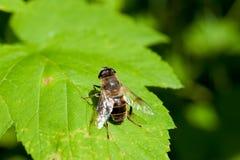 Una mosca se sienta en una hoja verde fotos de archivo