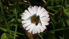 Una mosca su Daisy Flower Swaying In il vento video d archivio
