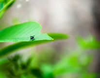 Una mosca su una foglia verde intenso Immagini Stock