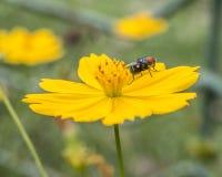 Una mosca su un piccolo fiore giallo nel bello parco della miniatura dell'Indonesia Fotografie Stock Libere da Diritti