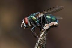 Una mosca verde della bottiglia su una perchia Immagini Stock Libere da Diritti
