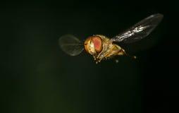 Una mosca in volo Fotografie Stock Libere da Diritti