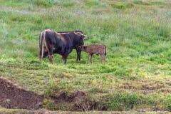 Una mucca allatta il suo vitello nel campo immagini stock