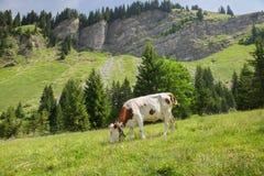Una mucca bianca con i punti di giallo sta alimentandosi il prato alpino Fotografie Stock Libere da Diritti