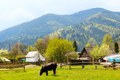 Una mucca che pasce sull'erba verde Fotografia Stock