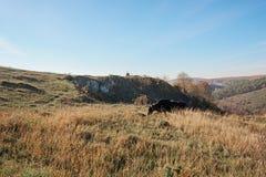 Una mucca che pasce sulla cima del pendio di autunno con erba gialla da lontano Immagini Stock