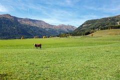 Una mucca che sta sul prato alpino davanti alle alpi l'austria Fotografie Stock Libere da Diritti