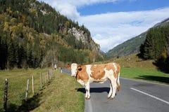 Una mucca che sta sulla strada attraverso le alpi l'austria Immagine Stock