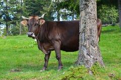 Una mucca con una campana Fotografie Stock