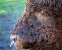Una mucca dai capelli riccia degli altopiani Immagine Stock Libera da Diritti