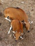 Una mucca di due rossi che si siede sulle foglie asciutte ha frantumato Fotografie Stock