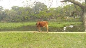 Una mucca di rosso del villaggio fotografia stock