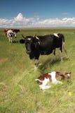 Una mucca e una mucca del bambino Fotografia Stock