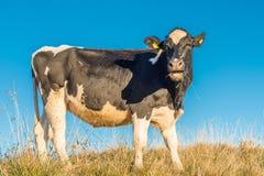 Una mucca mangia Fotografie Stock Libere da Diritti