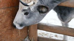 Una mucca mangia il fieno al ranch video d archivio
