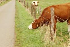 Una mucca mangia l'erba. Immagini Stock
