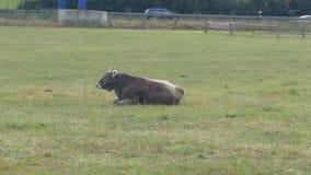 Una mucca marrone immagine stock