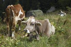 Una mucca marrone e bianca nell'alta erba Fotografia Stock