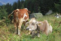 Una mucca marrone e bianca nell'alta erba Immagini Stock Libere da Diritti
