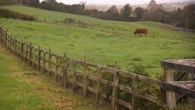 Una mucca marrone su un'azienda agricola video d archivio