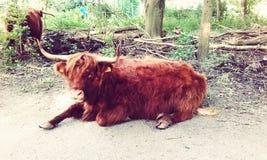 Una mucca nel parco Fotografie Stock Libere da Diritti