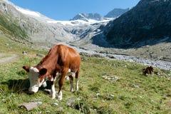 Una mucca nelle alpi Fotografie Stock