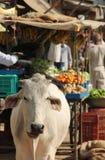 Una mucca nelle vie fotografie stock