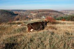 Una mucca nera cornuta che pasce sulla radura di autunno con erba gialla e verde sui precedenti di paese Immagine Stock