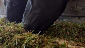 Una mucca nera sta in un granaio e mangia il silaggio dell'erba, il primo piano, la museruola della mucca, l'alimento della mucca video d archivio