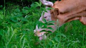 Una mucca pasce nel prato Bestiame, erba, verdi bestiame Fuoco selettivo Fucilazione tenuta in mano archivi video