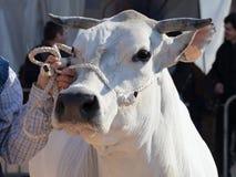 Una mucca piemontese Fotografia Stock Libera da Diritti