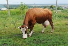 Una mucca rossa marrone che pasce su un guinzaglio in un campo accanto alle case di campagna Immagine Stock Libera da Diritti