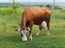 Una mucca rossa marrone che pasce su un guinzaglio in un campo accanto alle case di campagna Immagini Stock
