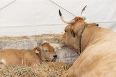 Una mucca sana ben nutrito con i grandi corni si trova in un granaio moderno del fieno con un vitello di sonno fotografie stock libere da diritti