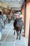 Una mucca santa vaga attraverso un mercato, viaggio in India Fotografie Stock