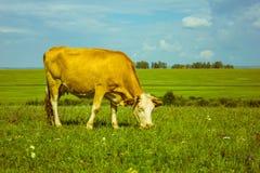 Una mucca sta pascendo in un prato immagine stock