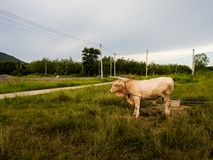 Una mucca su un campo verde in Tailandia Immagine Stock Libera da Diritti