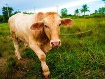 Una mucca su un campo verde in Tailandia Fotografia Stock Libera da Diritti
