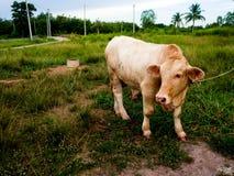 Una mucca su un campo verde in Tailandia Fotografie Stock