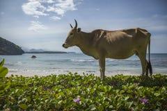 Una mucca su una spiaggia vuota nell'Aceh, Indonesia Fotografia Stock