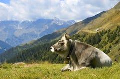 Una mucca sull'erba dell'alpe Fotografia Stock Libera da Diritti