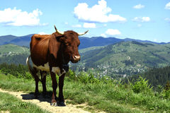 Una mucca sulla collina Immagine Stock Libera da Diritti
