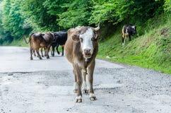 Una mucca sulla strada Albero verde Immagini Stock Libere da Diritti