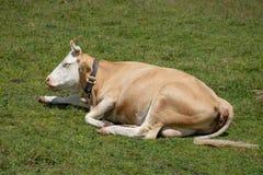 Una mucca svizzera che si siede in un campo fotografia stock