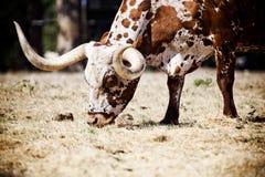 Mucca texana Fotografie Stock