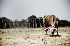 Mucca texana Immagini Stock Libere da Diritti