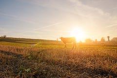 Una mucca in un'altezza completa sta pascendo sul campo di autunno lontano sopra dai precedenti di bello tramonto Immagine Stock