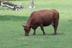 Una mucca in un pascolo Immagine Stock