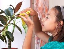 Una muchacha limpia el polvo de las hojas Fotografía de archivo libre de regalías