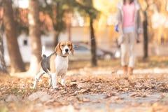 Una muchacha y su perro que caminan en un parque foto de archivo